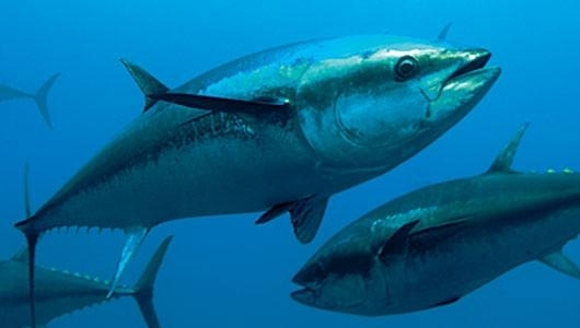 Big game fishing for Is tuna fish good for cats